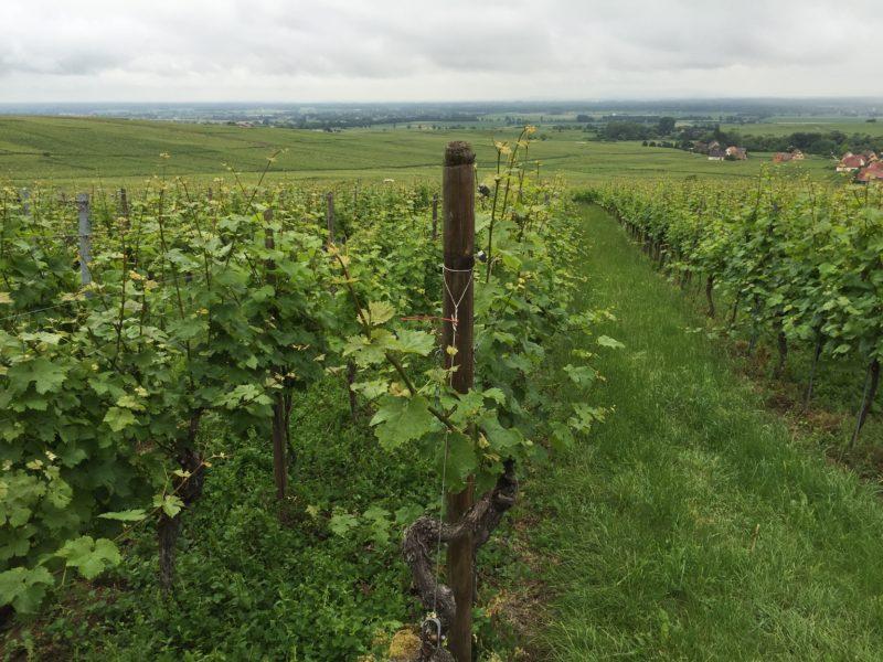 Vinmarker så langt øjet rækker. Her fra Grand Cru marken Rosacker i Hunawihr. Alsace – vinturistens ferieparadis