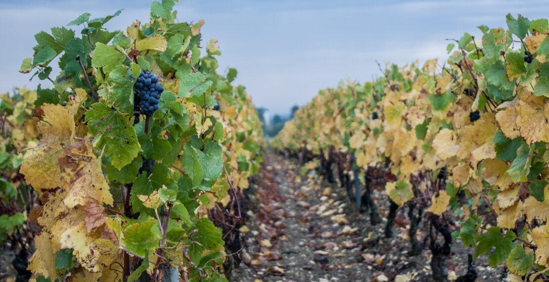 Den store quiz om alverdens druer